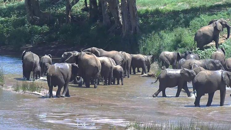 Elephant Herd Crossing The Olifants River