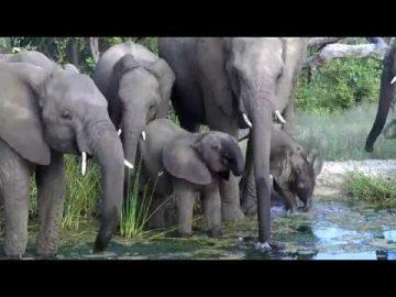 Elephant Herd Drinking at Cat Eye