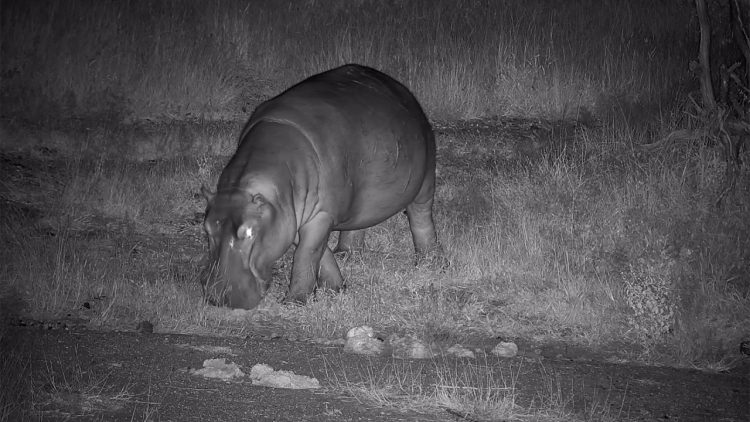 Hippo at Olifants River