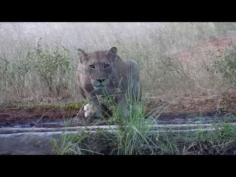 Lioness at Cat Eye