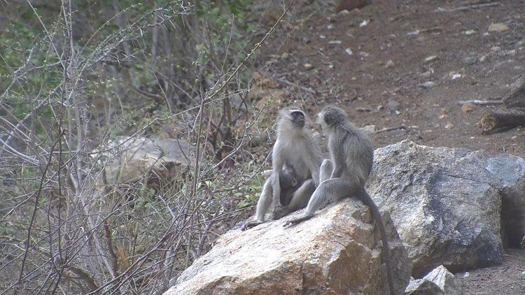 Vervet Monkeys at Olifants River