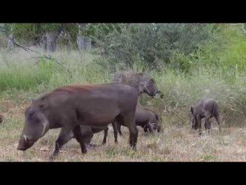 Warthogs at Cat Eye