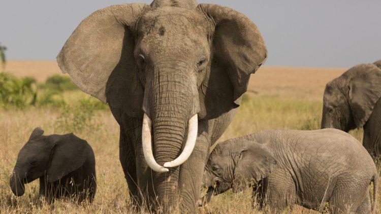elephant in the savannah. Africa.