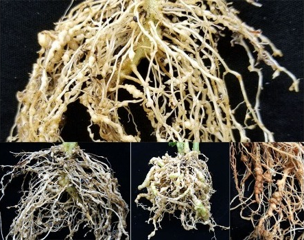 How to solve the problem of Root knot nematodes in your garden