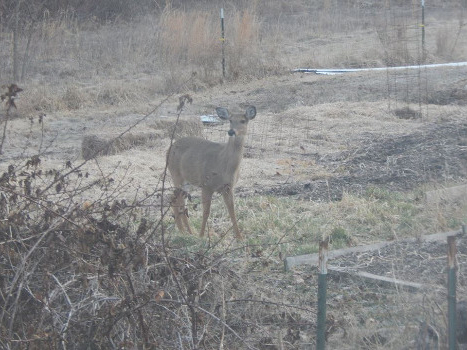 Oh deer!  Deer damage and what farmers can do about it