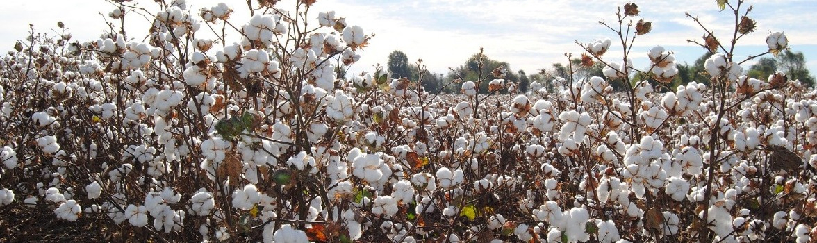 How to Cultivate Cotton Organically