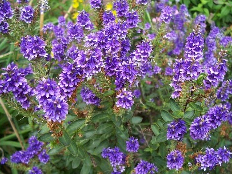 Hebe or Veronica bush - Everything about this plant