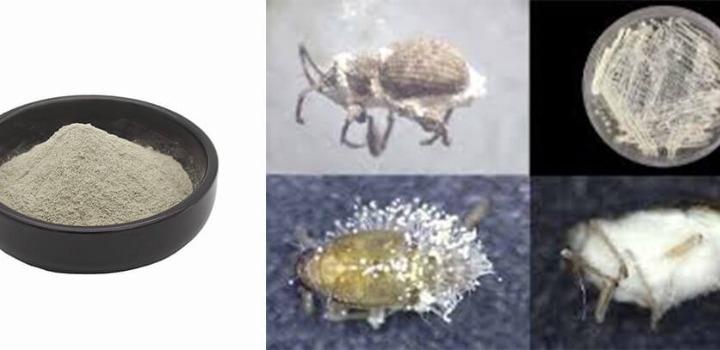 Insecticide Beauveria Bassiana Bed Bug Treatment