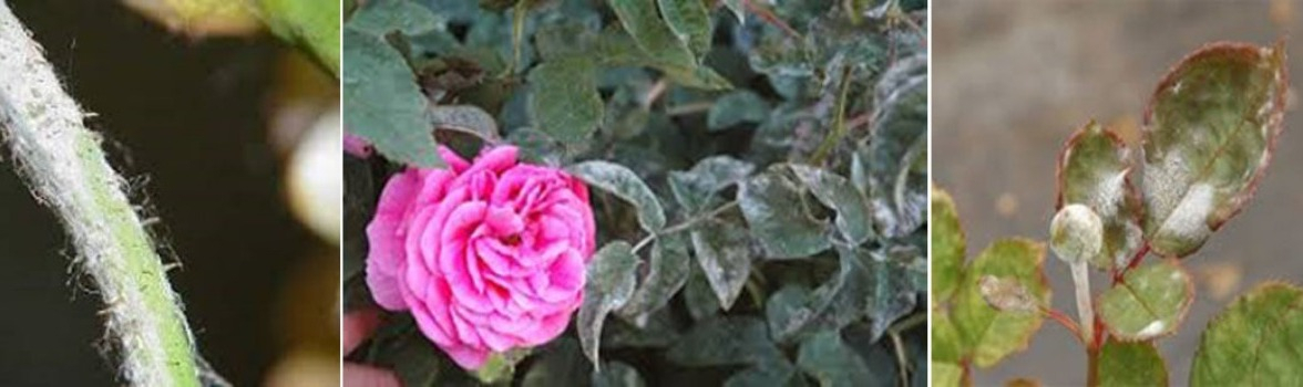 How to get rid of powdery mildew on rose?