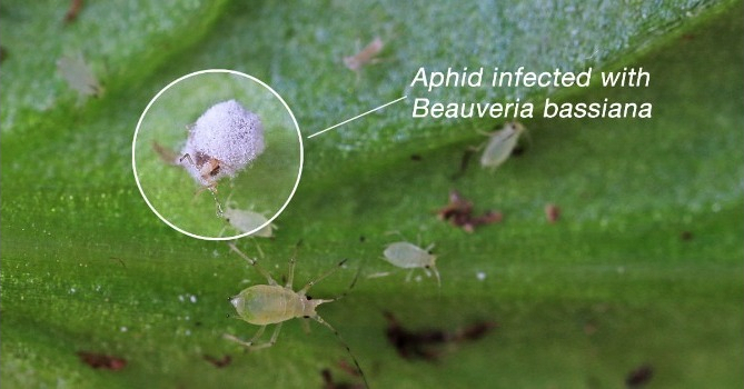 Beauveria Bassiana Products Bed Bugs Control