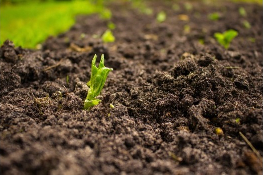 Trichoderma's advantages on control soil pathogens