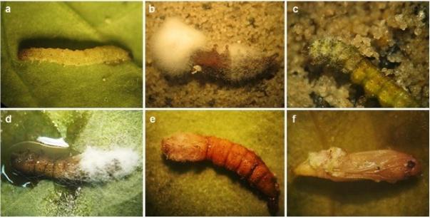 Bioinsecticide metarhizium anisopliae for pest control