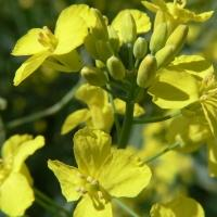 Canola Growers