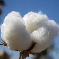 Cotton News