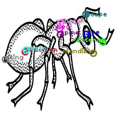 ant_0008.png