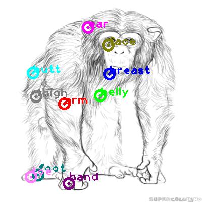 chimpanzee_0005.png