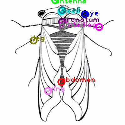 cicada_0008.png