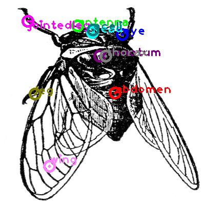 cicada_0026.png