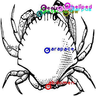 crab_0030.png