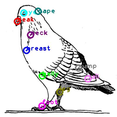 pigeon_0028.png