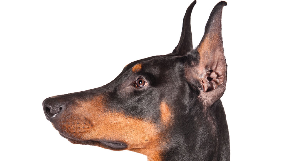 Where Have All the Doberman Breeders Gone? – American Kennel