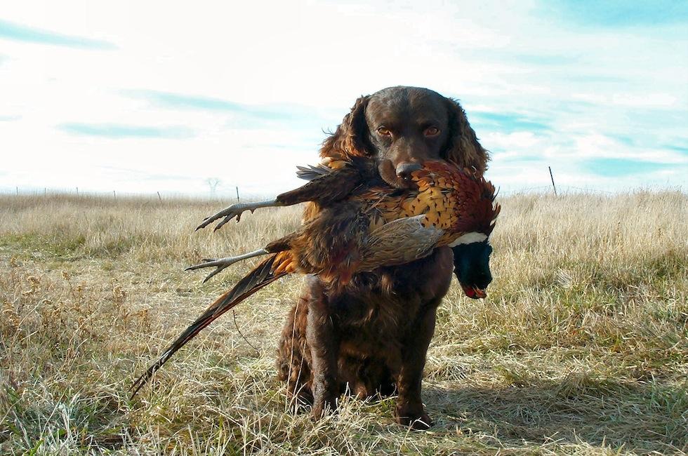parent club program tests your boykin spaniel s hunting skills