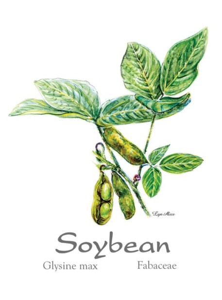 "Lyn Alice's New Botanical Piece ""Soybean"""