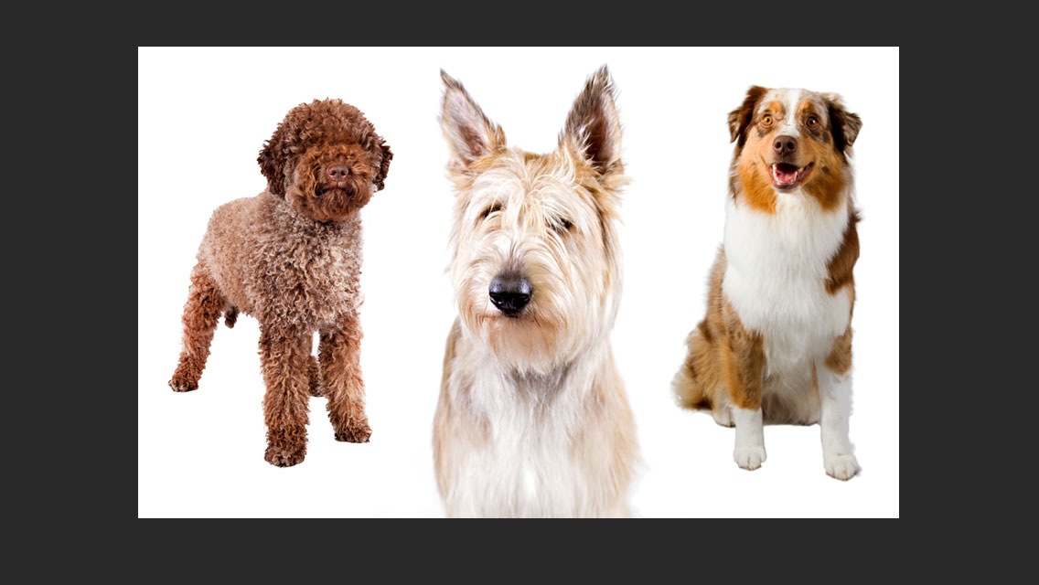 Meet The American Kennel Clubs Three New Dog Breeds