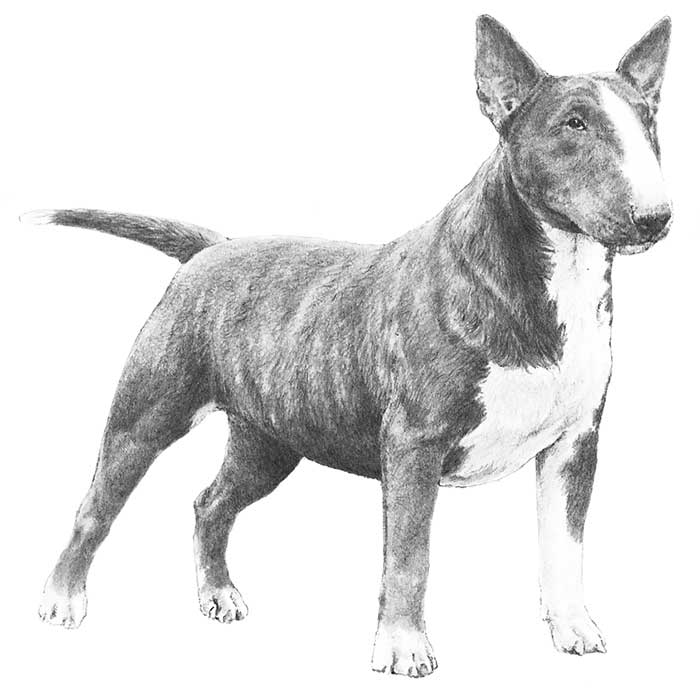 Miniature Bull Terrier Dog Breed Information American