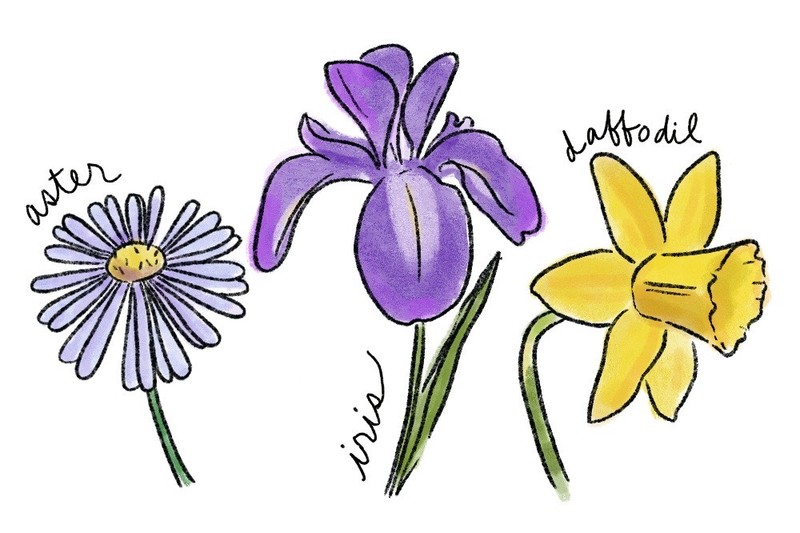 illustration of an aster blossom, a purple iris, and a yellow daffodil