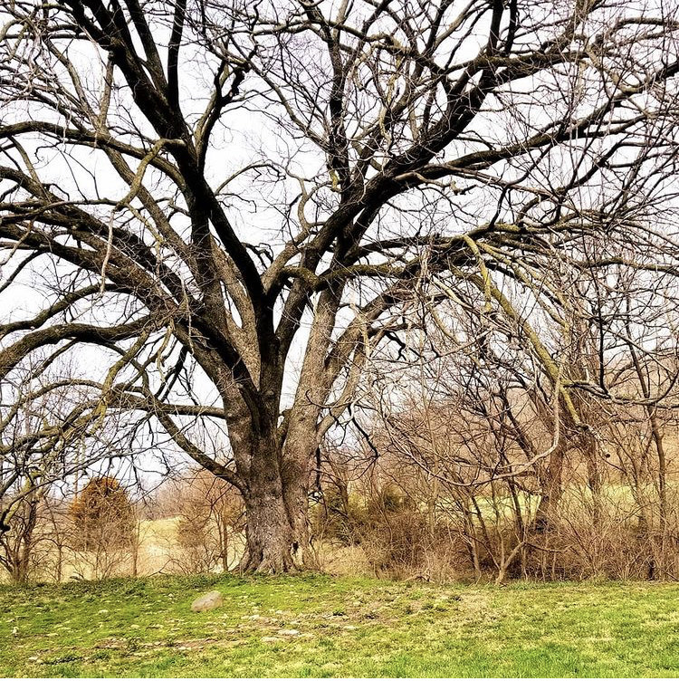 Image is of a big tree with sprawling branches without leaves, surrounded by green grass