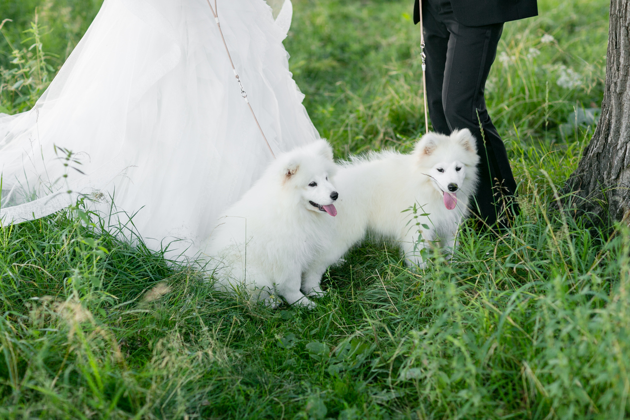 Samoyeds and couple