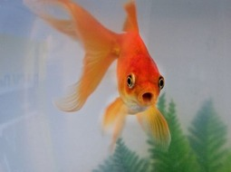 Pez Goldfish Bailarina - Carassius auratus I