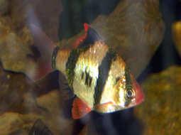 Pez Barbo sumatrano - Puntius  tetrazona