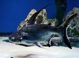 Pez Tiburón Pangasio - Pangasianodon hypophthalmus