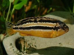 Pez Auratus - Melanochromis auratus