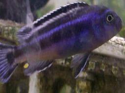 Pez Johanni - Melanochromis johannii