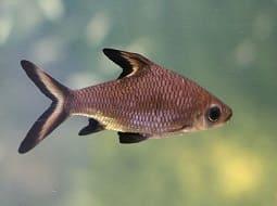 Pez Tiburón Plata - Balantiocheilus melanopterus