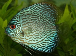 Pez Disco - Symphysodon aequifasciatus