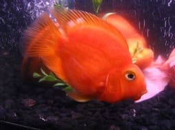 Pez Loro - Red Parrot