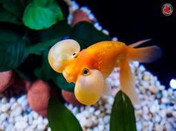 Pez Goldfish Ojos de Burbuja - Carassius auratus
