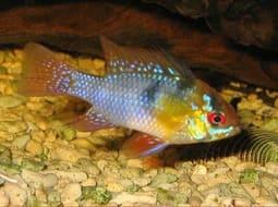 Pez Ramirezi - Microgeophagus ramirezi