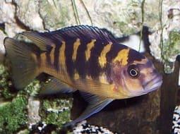 Pez Abejorro - Pseudotropheus crabro