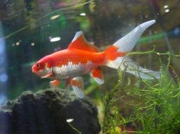 Pez Goldfish Cometa - Carassius auratus III