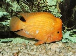 Pez Rey Midas - Amphilophus citrinellus
