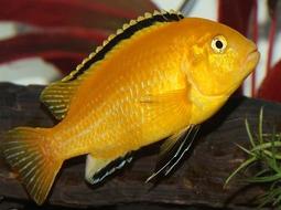Pez Amarillo eléctrico - Labidochromis caeruleus