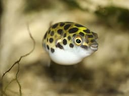Pez Globo de Agua Dulce - Tetraodon Nigroviridis
