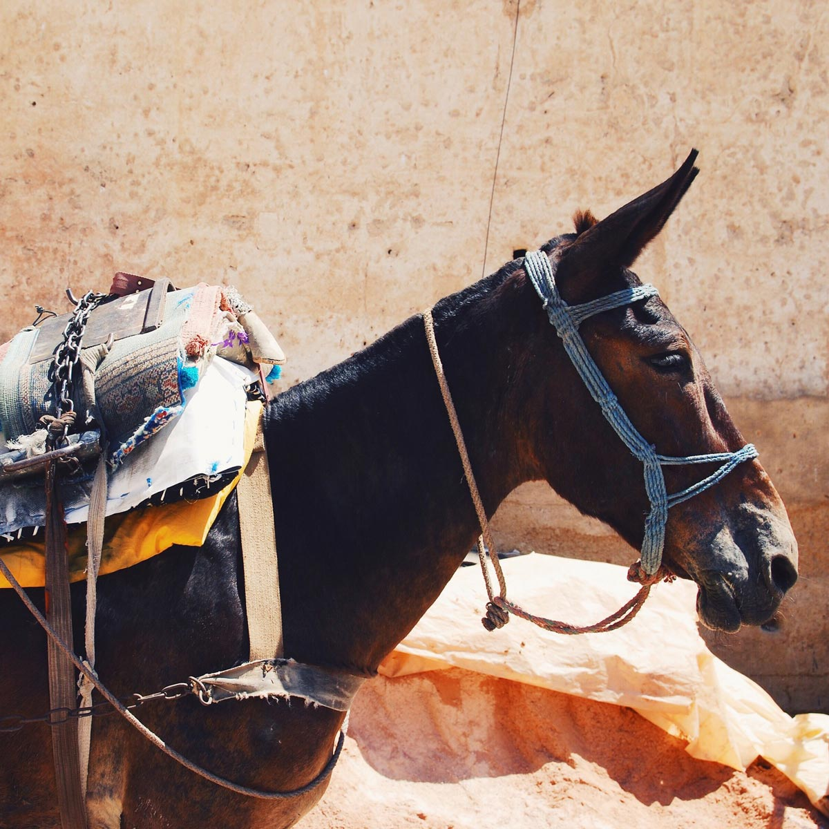 A mule with luggage and ears perked