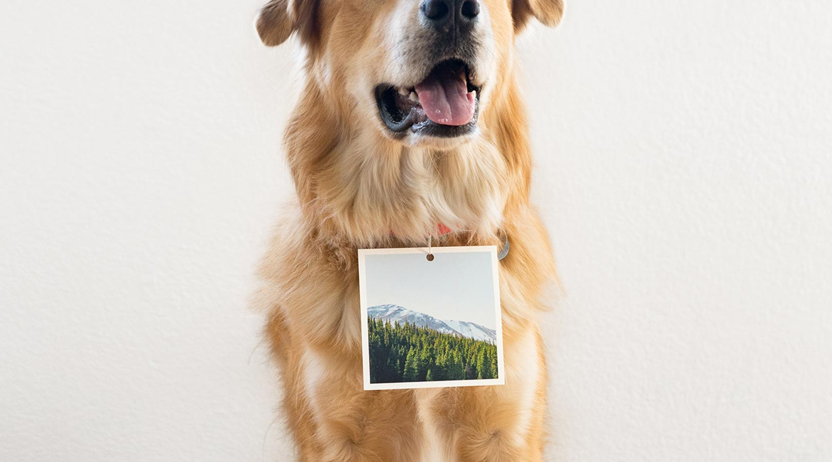 A golden retriever with a square print attached to his collar