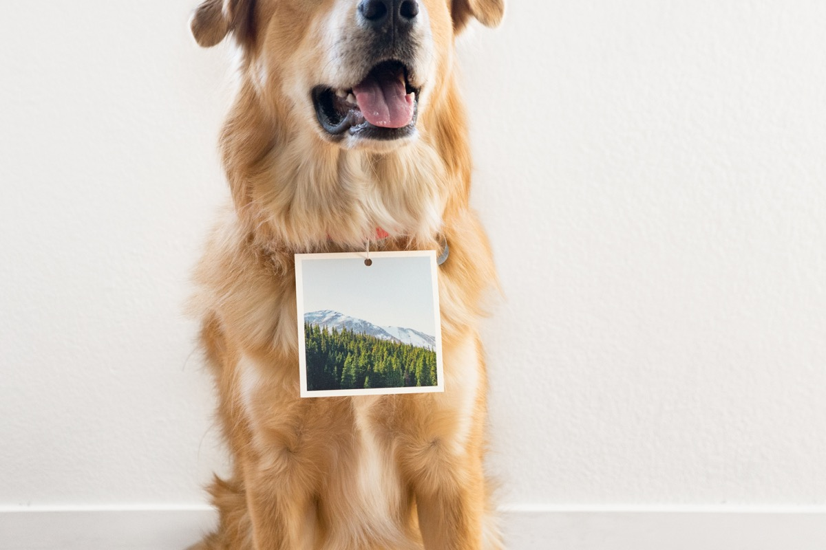 A Golden Retriever with a mountain photo on a square print